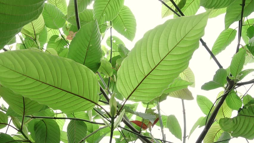 DEA Scheduling of Kratom
